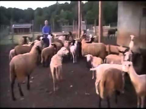 Farmer Calling His Sheep