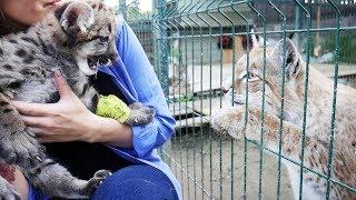 РЕАКЦИЯ ПУМЫ НА РЫСЕЙ. РУМ ТУР по новым вольерам. Тренинг кота Мартина #3/ COUGAR'S REACTION TO LYNX