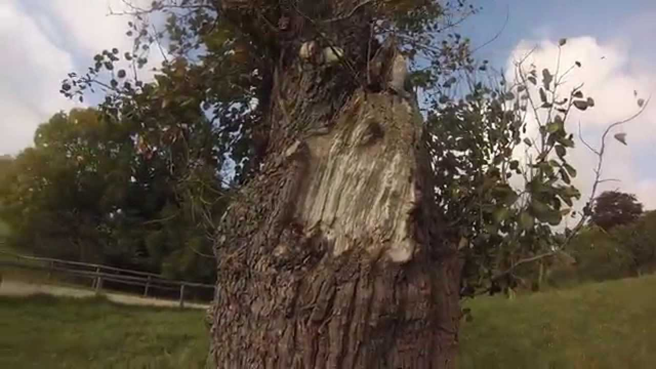 Nid de frelons dans un arbre caen calvados youtube - Petit nid de frelon ...