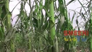 Grindina a afectat la Smeeni zeci de hectare de culturi agricole. 14.06.2014
