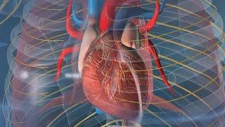 Au coeur des organes : Le rythme cardiaque