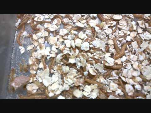 Breeding mealworms for chickens and fish bait youtube for Mealworms for fishing