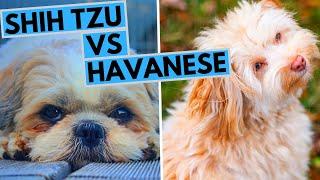 Havanese vs Shih Tzu Difference