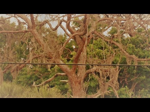 SWFL Eagles_H & M Do Air & Ground Work Adding Sticks In Both Trees 05-24-18