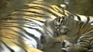 母トラ シズカの授乳 thumbnail