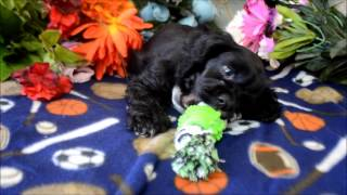 This Video Previously Contained A Copyrighted Audio Track. Due To A Claim By A Copyright Holder, The Audio Track Has Been Muted.     Cocker Spaniel Puppies For Sale *www.maryscockerhaven.com** 719-306-8118