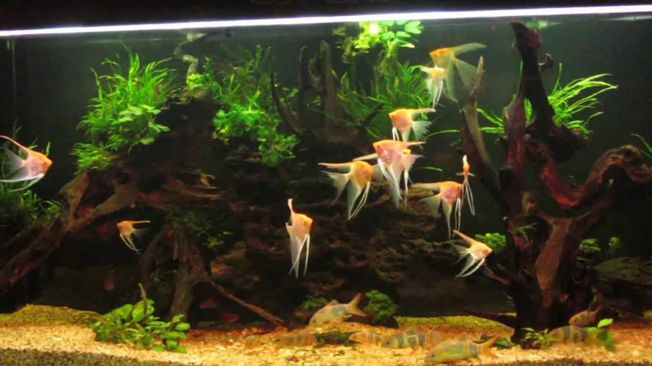 Aquascaping 540gal - Biotope Albino Angelfish - YouTube