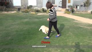 Labrador Companion Dog  Trainers In Egypt
