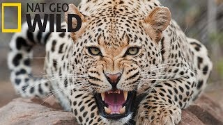 Суперхищники Гепард Документальные фильмы Nat Geo Wild HD