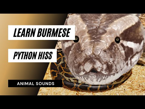 The Animal Sounds: Python Burmese Hiss - Sound Effect - Animation