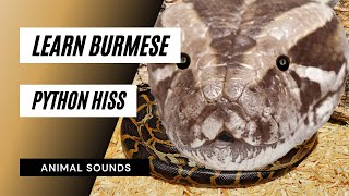 The Animal Sounds: Python Burmese Hiss - Sound Effect - Animation