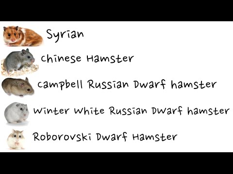 Identifying The 5 Species Of Hamster