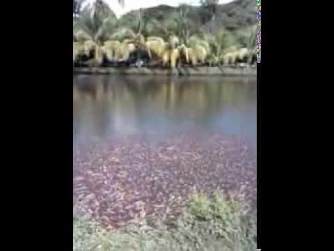 Criadero de mojarra roja en l zaro c rdenas mich youtube for Criadero de mojarras