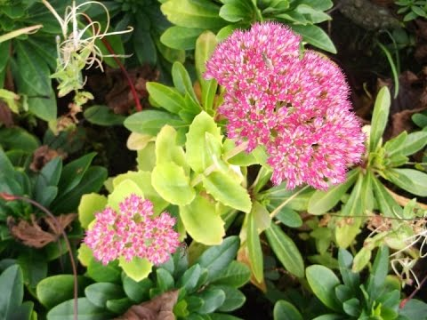 Sedum autumn joy succulent plant in beautiful bright pink flower sedum autumn joy succulent plant in beautiful bright pink flower mightylinksfo