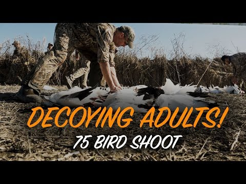 Hunting Snow Geese | Tactics For Adult Birds