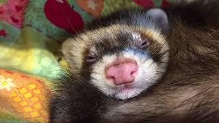 皆様、こんにちわ!! ファーファームフェレットちゃんの寝顔がとっても...
