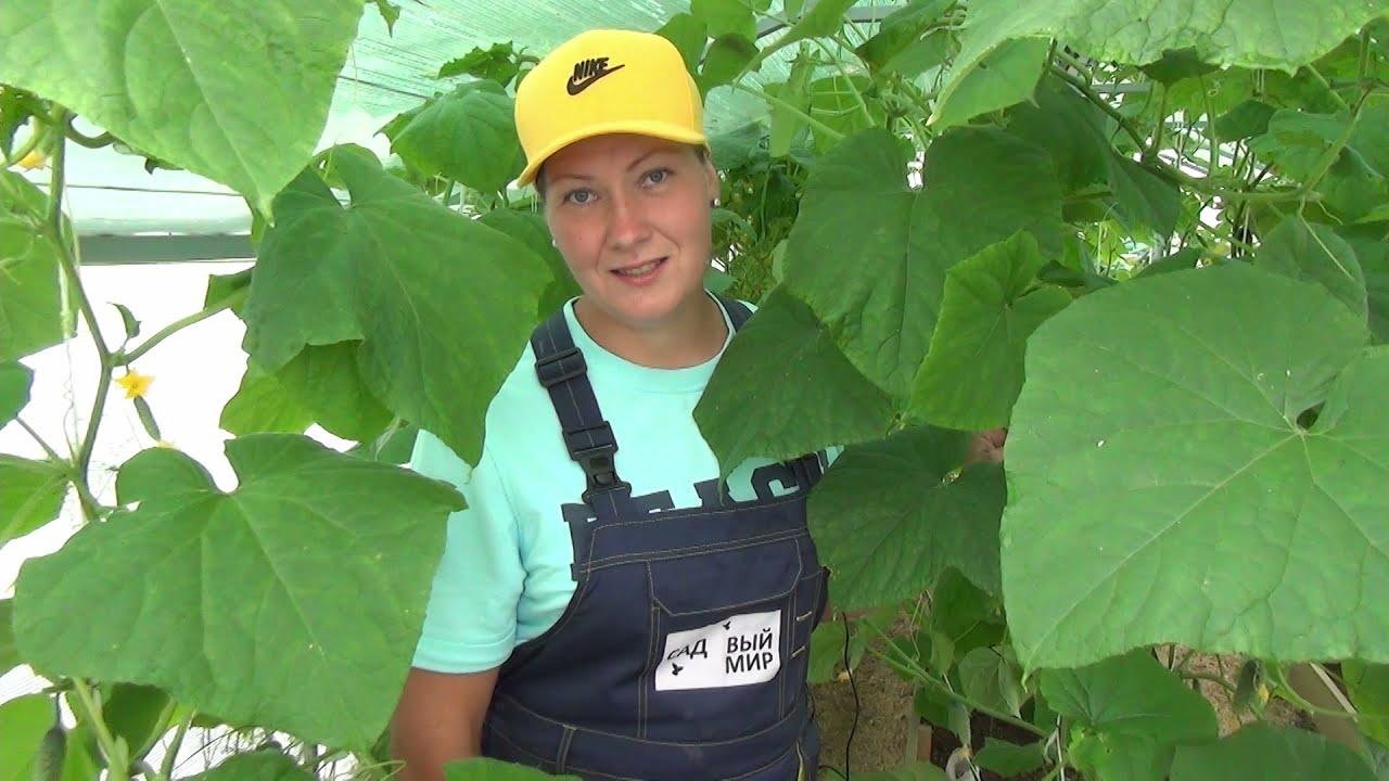 Зеленый огуречник: без болезней и желтых листьев. Как собирать здоровый урожай огурцов до осени
