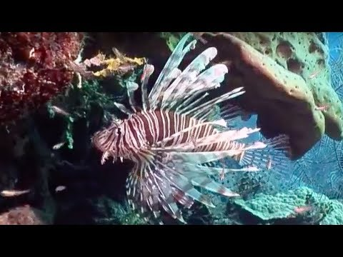 Venomous Lionfish | Oceans | BBC Earth