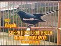 Masteran Suara Burung Kacer Di Jamin Kacer Bisu Langsung Nyaut  Mp3 - Mp4 Download