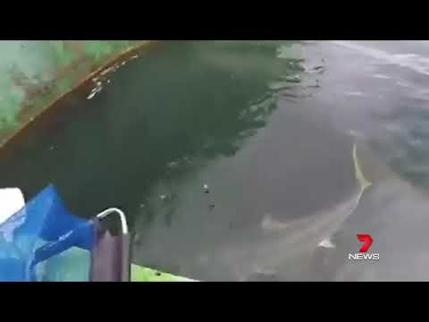 Kayak Angler Has Been Taken For Ride As He Wrestled With A Kingfish On The Port River In Adelaide