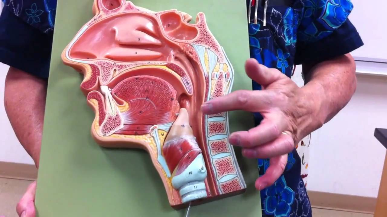 Anatomy Of The Upper Respiratory Tract. Chapter 16 The respiratory ...
