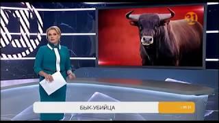В Павлодарской области племенной бык убил своего владельца