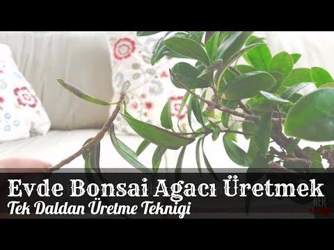 Bonsai Ağacı Nasıl Yetiştirilir? Fikus Bonsai Bitkisi Nasıl Yapılır ve Daldan Nasıl Ekilir?