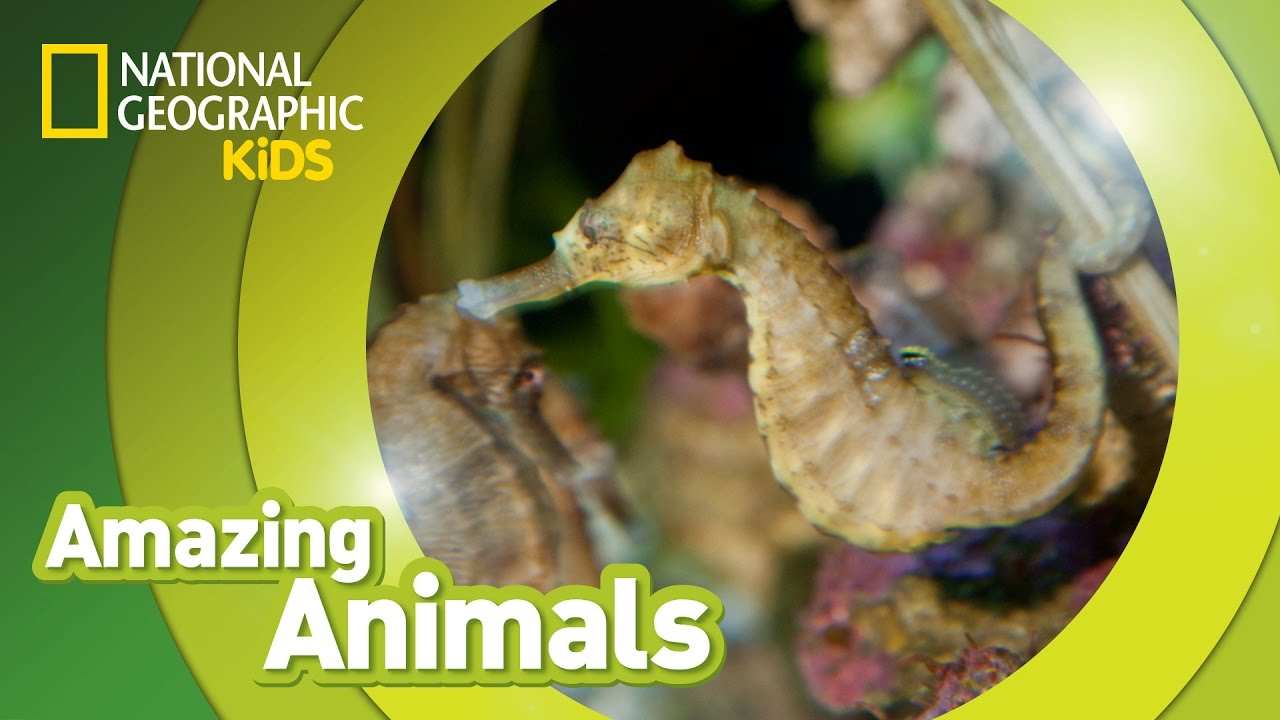 seahorse amazing animals youtube