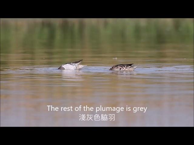 茄萣濕地冬候鳥The Winter Migratory Birds of Qieding Wetland--白眉鴨garganey
