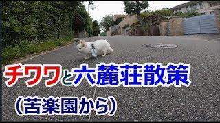 チワワと六麓荘散策(苦楽園から) Chihuahua Rrokurokusou Kurakuenn