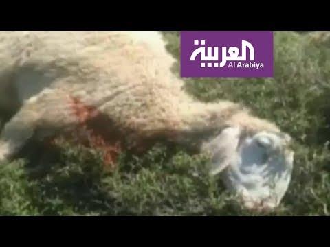 إسرائيليون يعتدون على راعي أغنام ويقتلون غنمه  - نشر قبل 4 ساعة