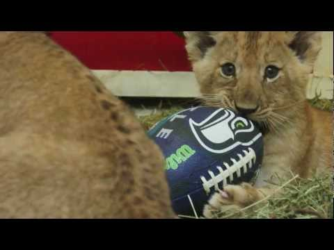 Lion cubs romp around with football, join the Seahawks 12th man at Woodland Park Zoo Seattle