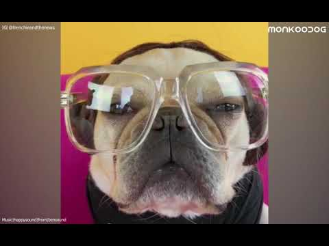 Funny and cute French bulldog Compilation || Monkoodog
