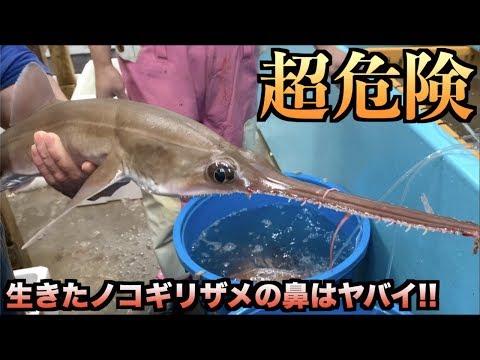 危険!!生きたノコギリザメをさばいたらトラブルの連続だった。。。