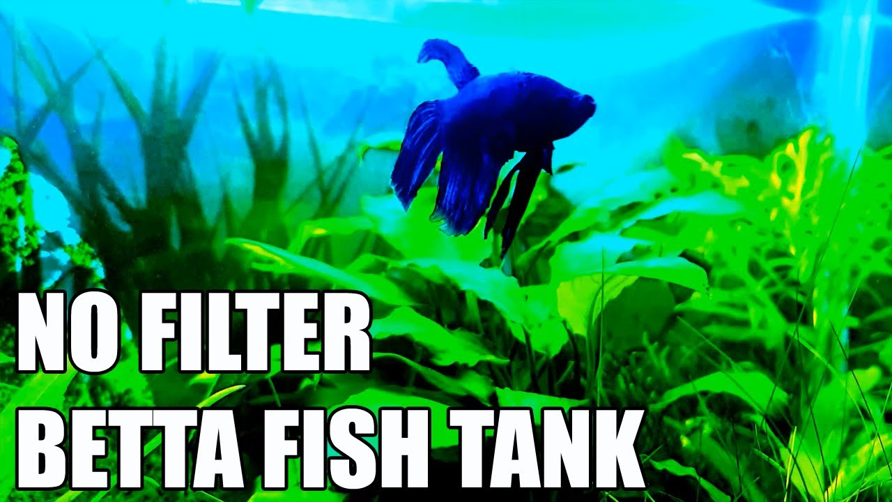 How To: Setup No Filter Betta Tank