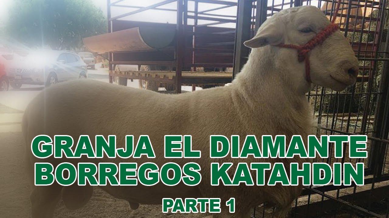 GRANJA EL DIAMANTE BORREGOS KATAHDIN PARTE 1