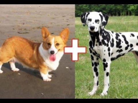 Сумашедшие скрещивания – 10 гибридов собак