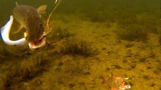 Pike Attacks Sea Lamprey. Fishing With Dead Baits. Рыбалка атака щуки на морскую миногу.