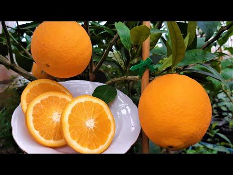 Апельсин. Первый урожай в теплице
