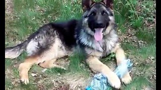 great Shepherd resting(, 2016-01-13T16:36:46.000Z)
