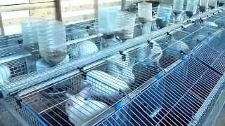 Синхронизированный окрол на эксперементальном участке будущей промышленной фермы кроликов