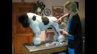 Show Dog Transformation
