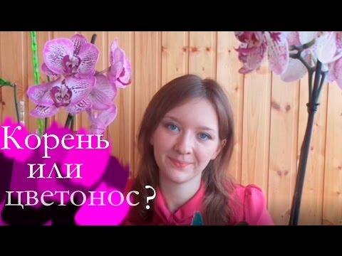 Как отличить корни орхидеи от цветоносов