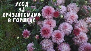 КАК СОХРАНИТЬ ХРИЗАНТЕМЫ В ГОРШКАХ. Мои цветы. Мой опыт.