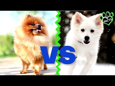 American Eskimo Dog Vs. Pomeranian Dog Vs Dog Which Is Better?