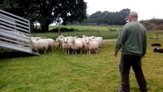 Chris Jupp loading sheep on a trailer