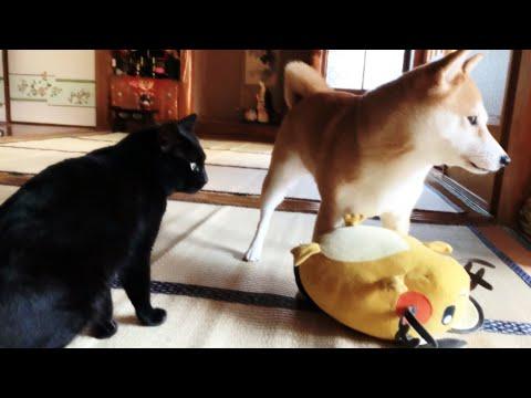 朝はよくしゃべる黒猫、可愛い柴犬もいるよ Meow!
