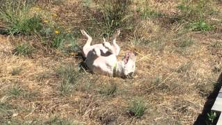 Bull Terrier Henry Wiggle Worming In The Dirt