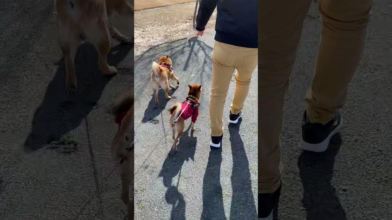 パパの隣を歩きたい柴犬