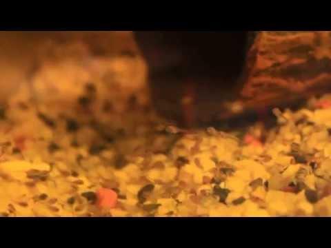 Мальки чернополосой цихлазомы, чернополосики